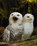 snöig gäspa för owl Royaltyfria Bilder