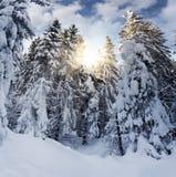 Snöig gran i bergskogen Arkivbild