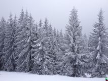 Snöig granar Arkivbilder