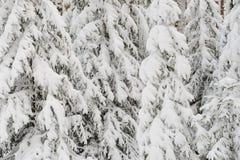 Snöig granar Arkivfoton