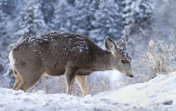 Snöig hjortar Arkivbild