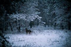 snöig hundskog Arkivfoton