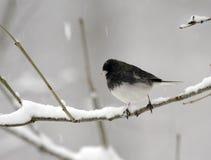 snöig junco Arkivbilder