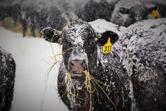 Snöig ko nummer 313 Arkivfoton