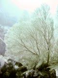 snöig korallventilatorhav Arkivfoto