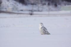 snöig kvinnligowl royaltyfri foto