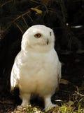 snöig male owl Arkivfoto