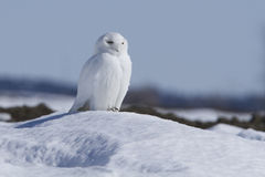 snöig male owl Arkivbild