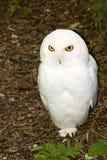 snöig male owl royaltyfria foton