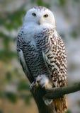 snöig owl Royaltyfria Bilder