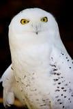 snöig owl Arkivbild