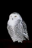 snöig owl Fotografering för Bildbyråer