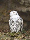 snöig owl 2 Arkivbilder