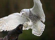 Snöig Owl Arkivbilder