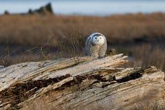 Snöig Owl Royaltyfri Bild