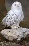 snöig owl 3 arkivbild