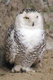 snöig owl royaltyfri fotografi