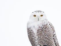 snöig owl Royaltyfri Foto
