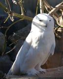 snöig owl Arkivfoto