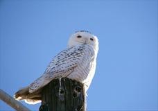 Snöig Owl Atop en stolpe Arkivbilder