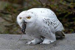 Snöig Owl (Buboscandiacusen) Arkivfoto