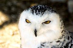 Snöig Owl för vit arkivfoto