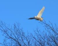 Snöig Owl Flight Arkivfoto
