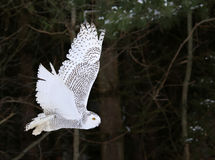 Snöig Owl Flying By Arkivbilder