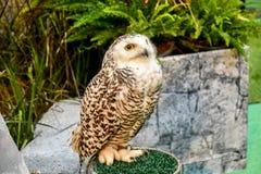 Snöig Owl Portrait Arkivfoton