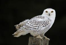 Snöig Owl Sitting Royaltyfri Bild