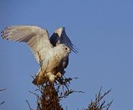 Snöig Owl Stretching Wings Arkivbild