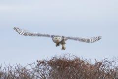 Snöig Owl Taking Flight Arkivbild