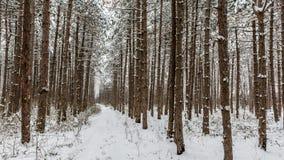 Snöig pinjeskog arkivbilder