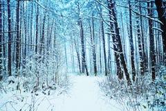 Snöig pinjeskog Royaltyfri Foto