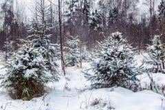 Snöig pinjeskog för vinter royaltyfria foton