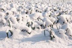 Snöig purjolökväxter i fältet Royaltyfri Bild