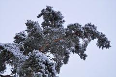 Snöig sörja-träd i kall vinterdag arkivbilder
