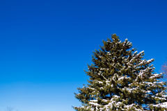 Snöig sörja trädet Arkivfoton