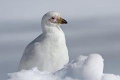 Snöig Sheathbill som sitter i den antarktiska vintern för snö Arkivfoto