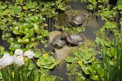 Snöig sköldpaddor värma sig i solen som ligger på stenarna fotografering för bildbyråer