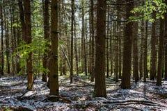 Snöig skog för vår royaltyfri fotografi