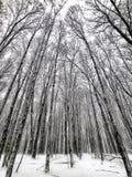 Snöig skog med högväxta träd Fotografering för Bildbyråer