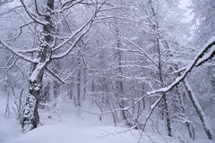 Snöig skog på den norr lutningen Aibga Ridge Western Caucasus Royaltyfria Foton
