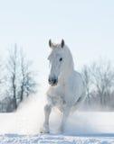 Snöig spring för vit häst i snöfält Arkivbilder