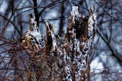 Snöig stor Horned uggla Arkivbilder