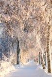 Snöig Sunny Birch Path II Royaltyfria Foton