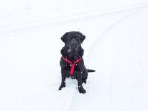 Snöig svart labb Fotografering för Bildbyråer
