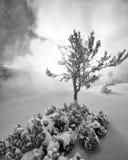 Snöig träd i ånga på Mammoth Hot Springs Royaltyfri Bild