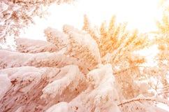 Snöig träd i turen för nytt år för solljus - begrepp Arkivfoton
