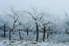 Snöig träd i vinterskog Arkivbild
